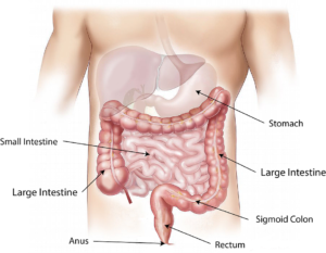 Diagram illustrating the anatomy of the lower digestive tract