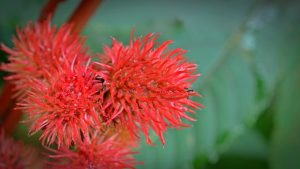 Picture of a castor oil plant