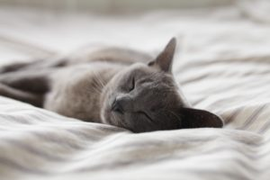 Picture of a grey cat sleeping soundly on a white duvet
